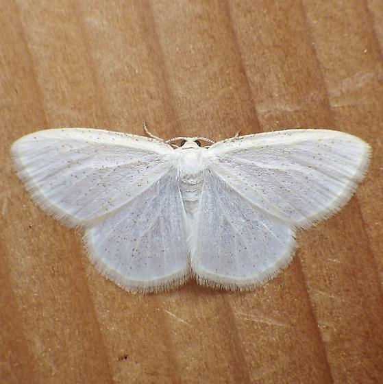 Geometridae: Cabera variolaria - Protitame virginalis - male