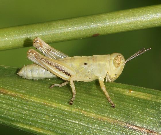 Unknown Grasshopper nymph - Melanoplus