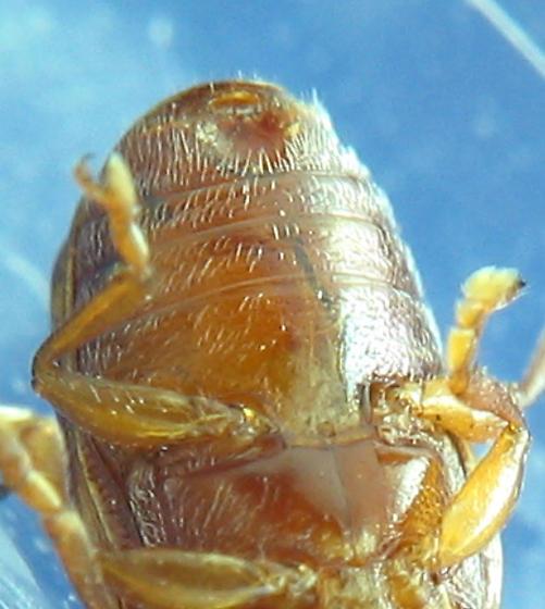 Cryptocephaline? - Cryptocephalus tinctus - female