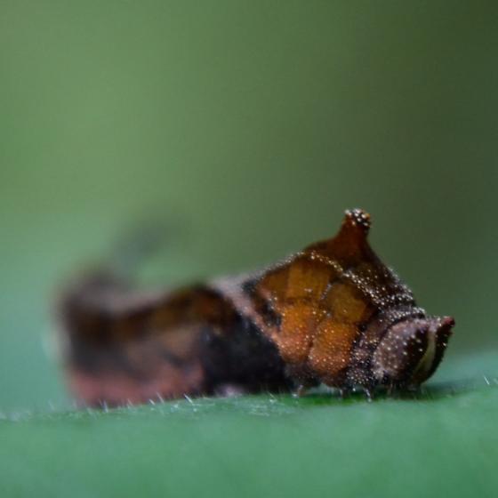Moth caterpillar? - Oreta rosea