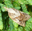 moth - Platynota idaeusalis