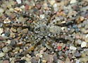 Arctosa littoralis--voucher image - Arctosa littoralis - male