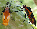 Molting Nymph and Adult - Oncopeltus fasciatus