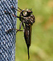 Robber Fly ID Request - Efferia aestuans - female