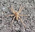 Spider unk - Rabidosa rabida
