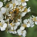 beetle  - Xestoleptura