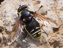 Bee Mimic Fly - Sericomyia militaris