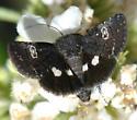 Moth - Copanarta sexpunctata