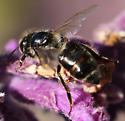 Which black bee is this? - Apis mellifera