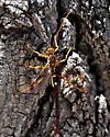 Ichneumon wasp ??? - Megarhyssa macrurus - male