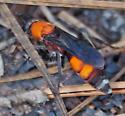 Male velvet ant? - Psorthaspis sanguinea - female