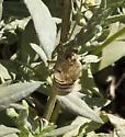 Cicada (Okanagana occidentalis) - Okanagana