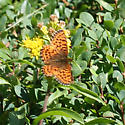 Purplish Fritillary - Boloria chariclea