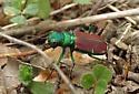 Splendid tiger beetle confirmation requested - Cicindela splendida - Cicindela splendida
