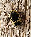 beetle - Gymnetis caseyi