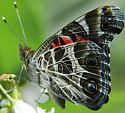 Pretty butterfly - Vanessa virginiensis