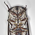Swamp Cicada - Neotibicen similaris
