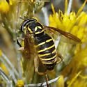 Spilomyia species, but don't know which - Spilomyia - female