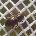 Leaf Beetle - Graphops pubescens