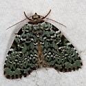 Leuconycta diphteroides
