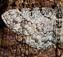 White Moth w/ Dark Brown Markings - Protoboarmia porcelaria