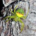 Rainbow Abdomen - Araneus bonsallae