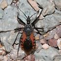 bug - Rhynocoris ventralis