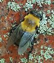 Bee Mimic - Mallota bautias - female