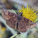 Mournful Duskywing - Erynnis tristis - male