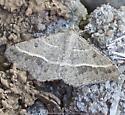 Gray, white speckeled moth - Digrammia irrorata