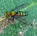 Green Streaks - Condylostylus longicornis - female