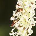 Small Beetles on Vanilla Leaf - Eusphalerum - male - female