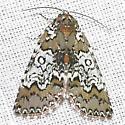 Owl-eyed Bird-dropping Moth - Cerma cora