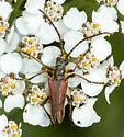 Multiple Cerambycids on the flowers near the lake - Stenocorus vestitus