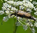 Leptura propinqua - Etorofus propinquus