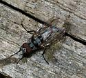 Striped Flies - Anthomyia oculifera - male