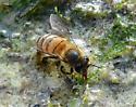 bee at water's edge - Apis mellifera