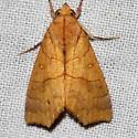 Yellow Scallop Moth - Anomis erosa