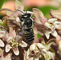 Genus Megachile - Leafcutter, Resin, and Mortar Bees - Can you help further ID? - Megachile