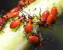 Milkweed bug nymphs - 10 days later - Oncopeltus fasciatus