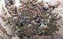 Cluster of immature somethings on a maple - Cerastipsocus venosus