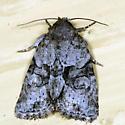 moth - Neoligia exhausta