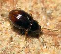 Tiny Beetle - Elaphropus