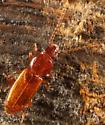 Small Beetle - Placonotus modestus
