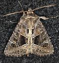 Noctuidae - Oligia obtusa