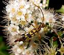 Flower Longhorn - Strangalia luteicornis - male