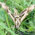 Sphinx Moth - Eumorpha pandorus