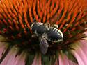 Unidentified Insect 2011 9 - Megachile mendica