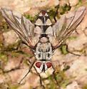 Large fly - Zelia