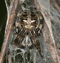 male spider - juvenile - Metepeira grandiosa - male